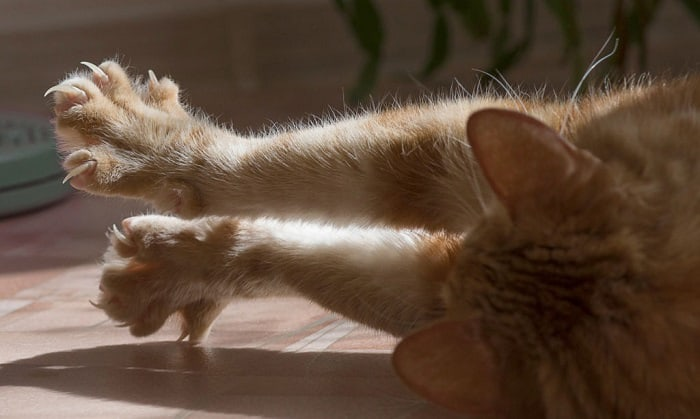 cat-toes