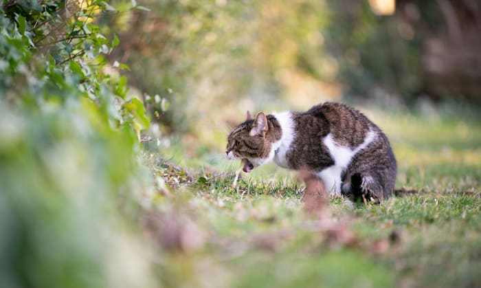elderly-cat-vomiting-undigested-food