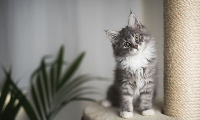how much do maine coon kittens cost