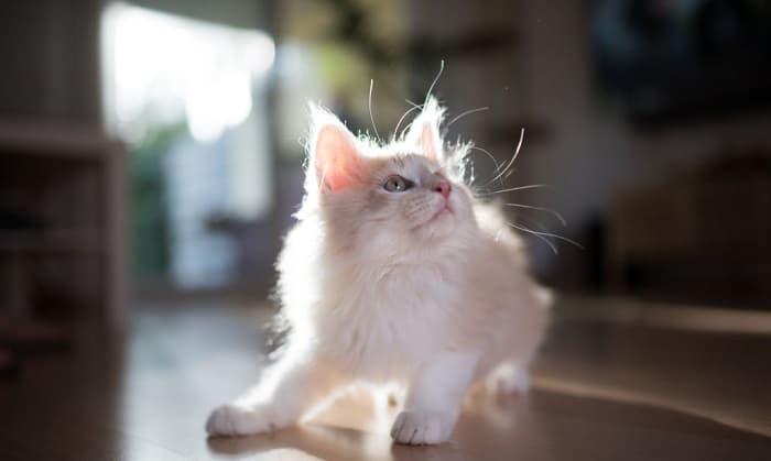 maine-coon-cat-price