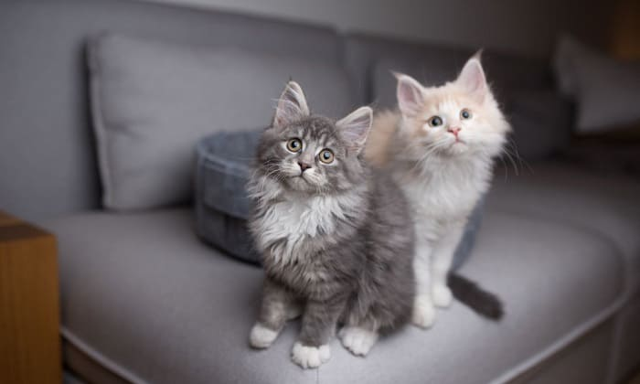 maine-coon-cost